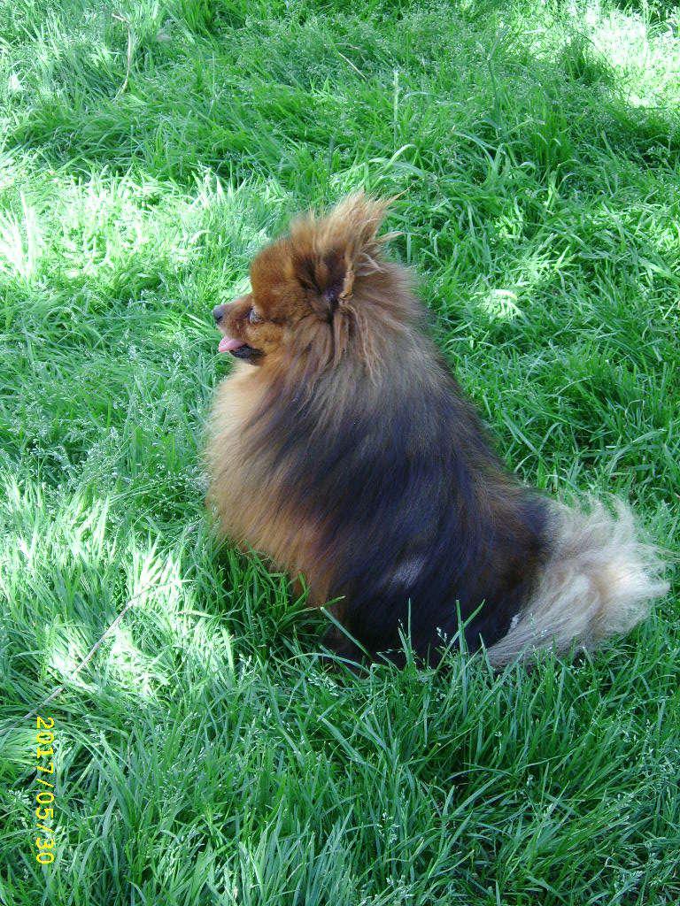 GUIZMO, superbe Spitz Nain réformé d'élevage de 6 ans  Ssa56842