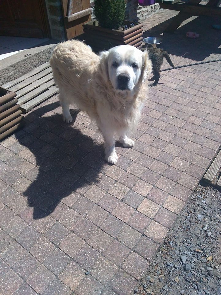 VIKING, golden retriever de 11 ans réapprend la vie en maison ... Terrch10
