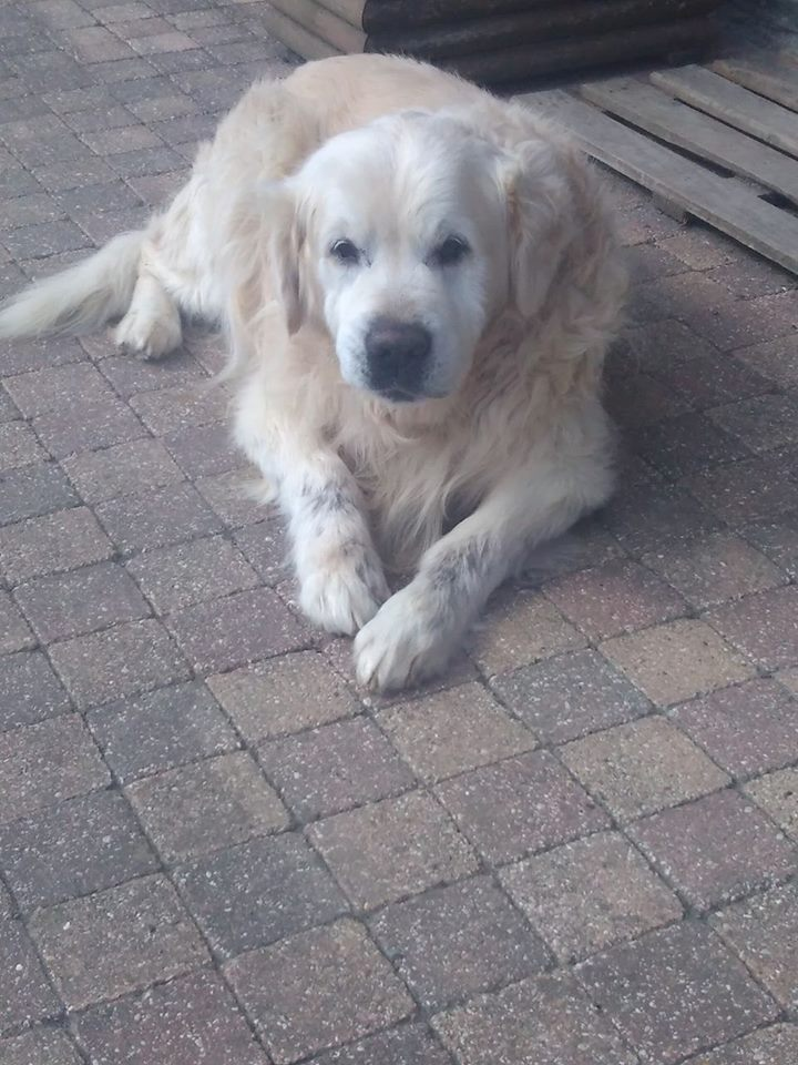 VIKING, golden retriever de 11 ans réapprend la vie en maison ... Terrdo10