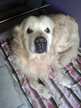 VIKING, golden retriever de 11 ans réapprend la vie en maison ... Tetdod10