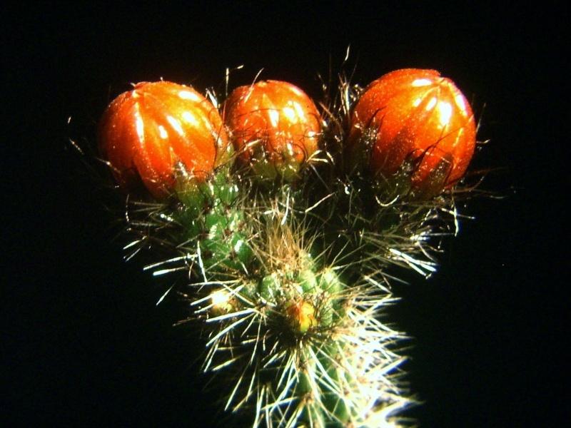 Corryocactus tenuiculus Img_0015
