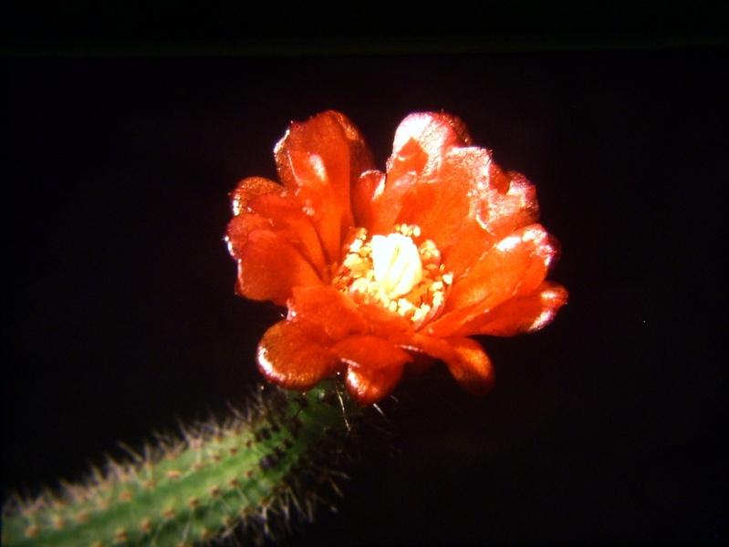 Corryocactus tenuiculus Img_0016