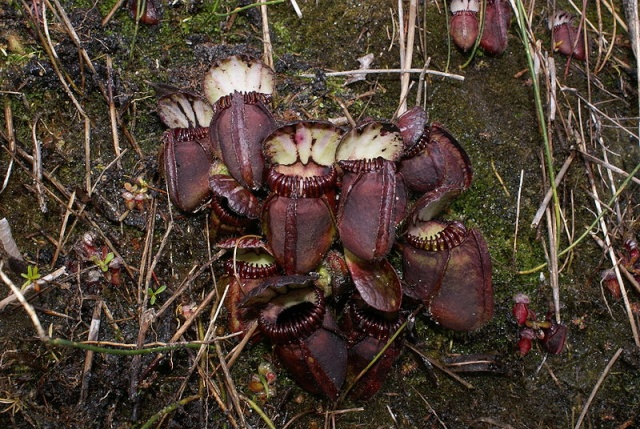Cephalotus en nature 800px-10