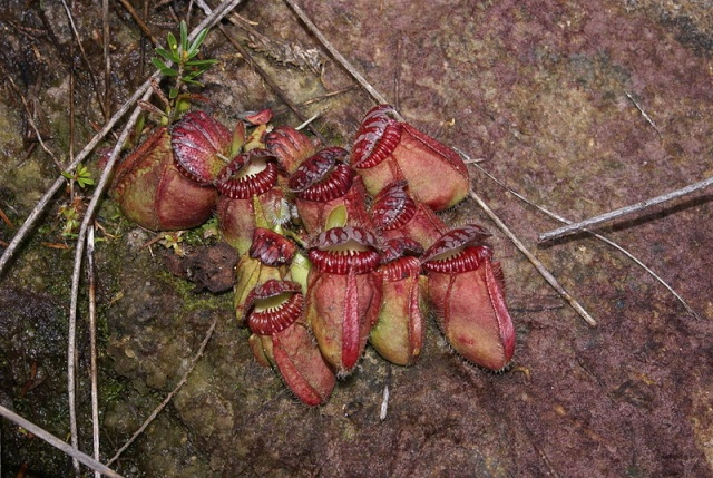 Cephalotus en nature 800px-11