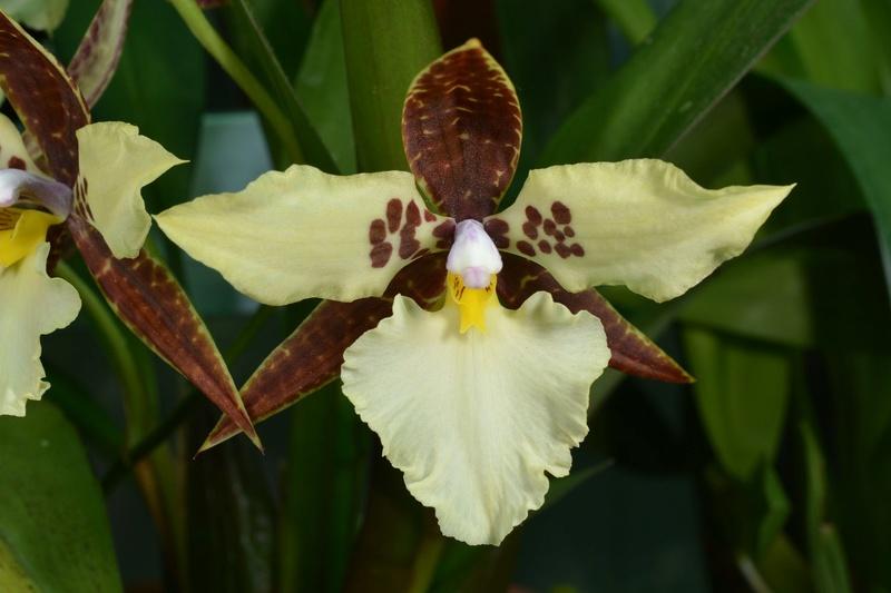 Lemboglossum Aspersum Rhynch10