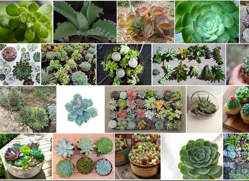 Arree Succulentes - Des fleurs : les succulentes ! Succul10