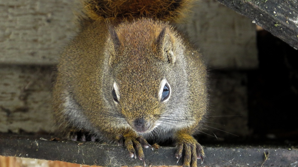L'écureuil roux 29042013