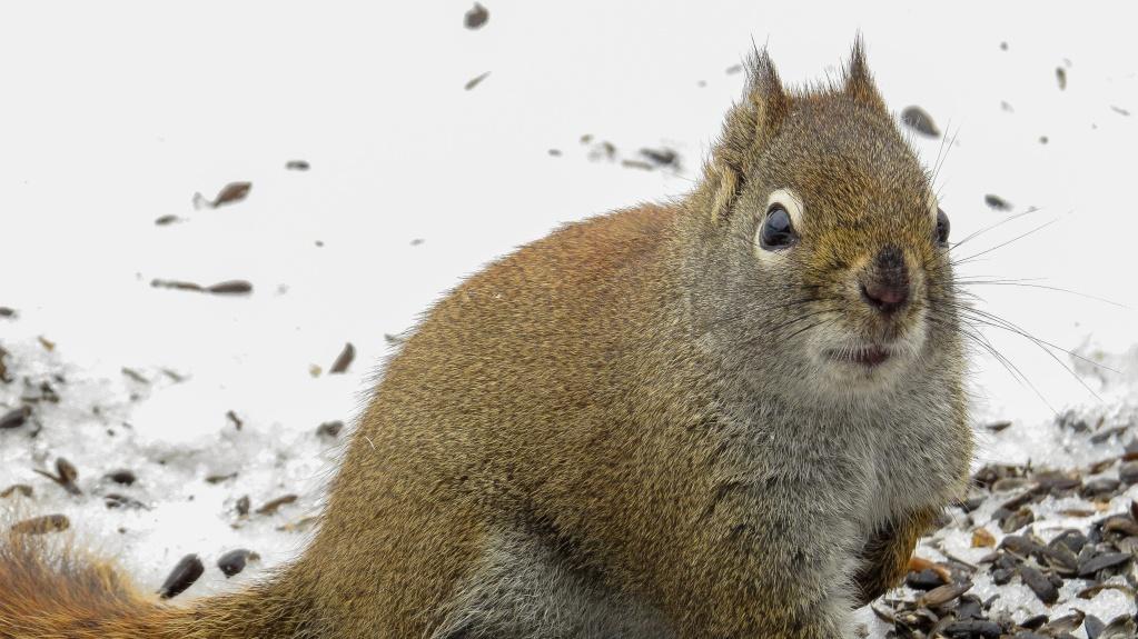 L'écureuil roux 29042014