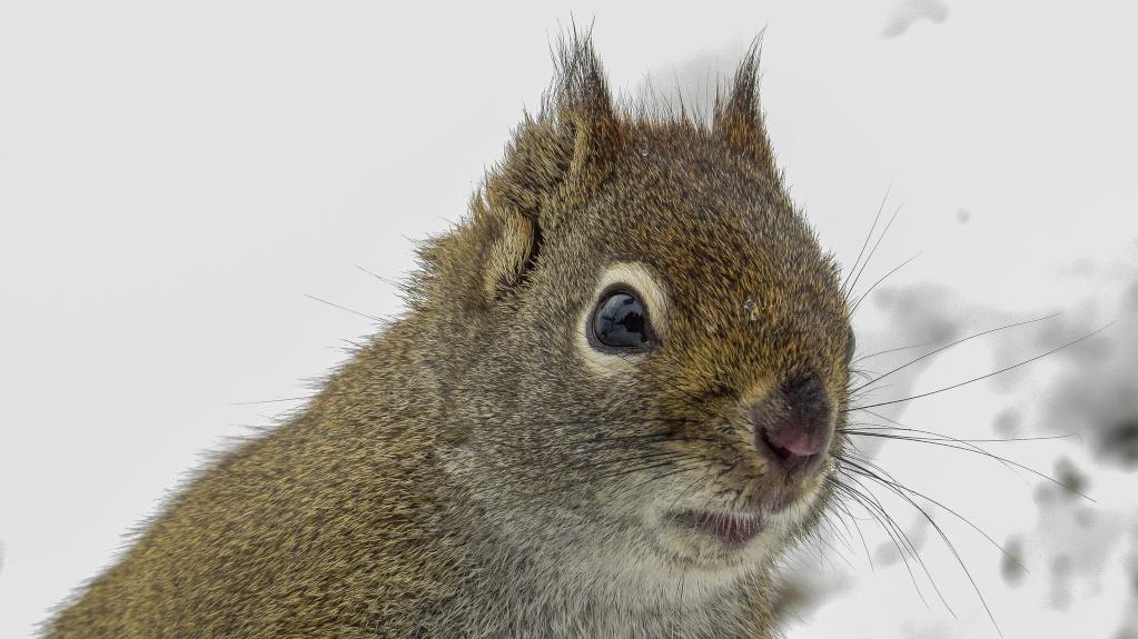 L'écureuil roux 29042015