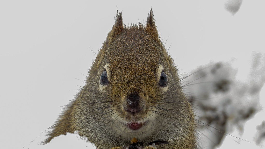 L'écureuil roux 29042016