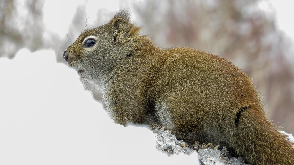 L'écureuil roux 29042017