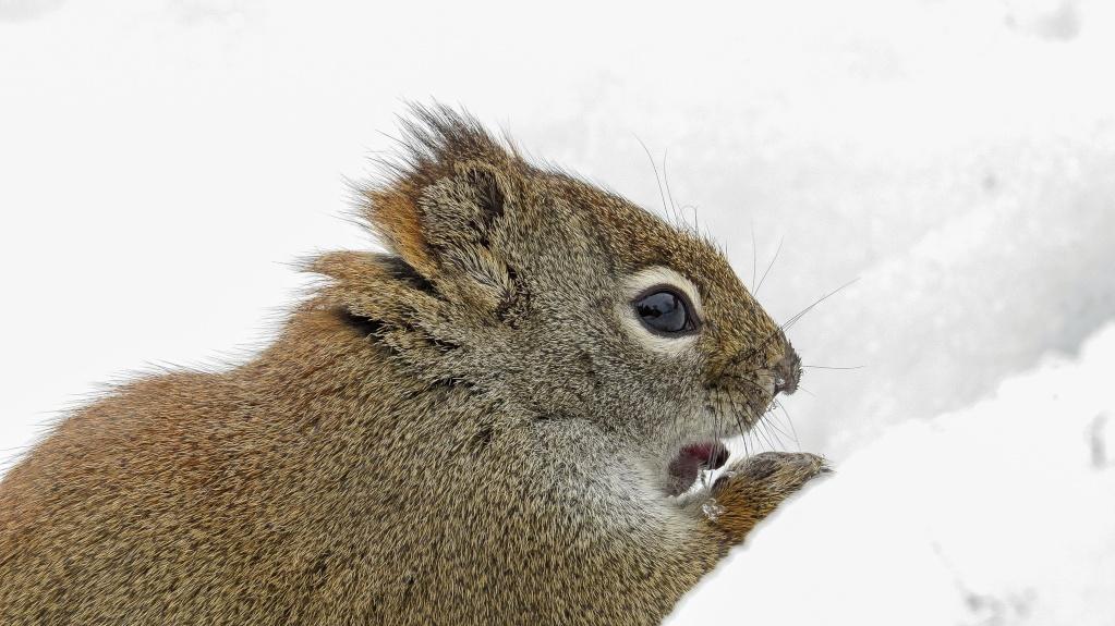 L'écureuil roux 29042018
