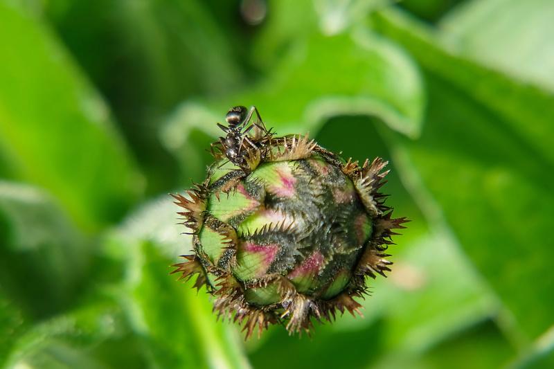 Un peu de flore Fourmi10