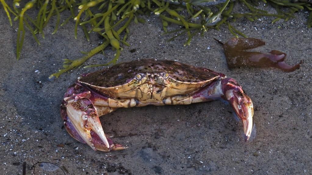 Petit crabe Sans_t57
