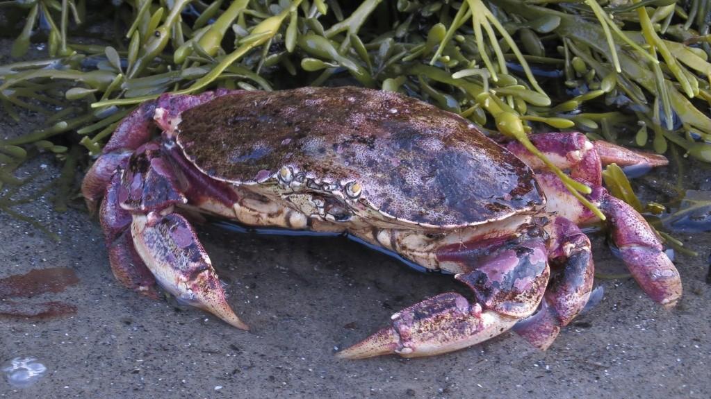 Petit crabe Sans_t58