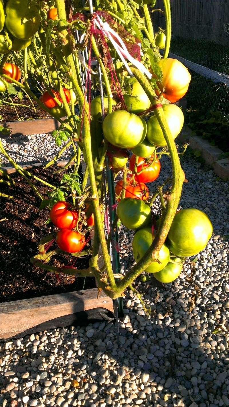 Brandywine Tomatoes, 159 on Vines Today! 20131018