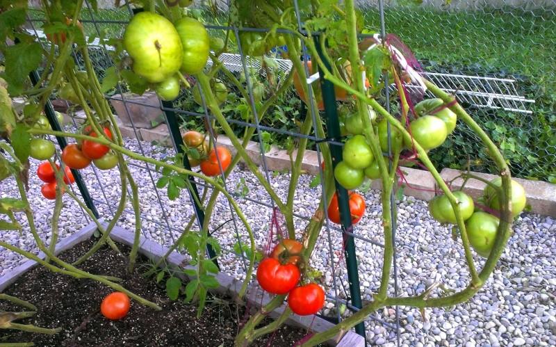 Brandywine Tomatoes, 159 on Vines Today! 20131019