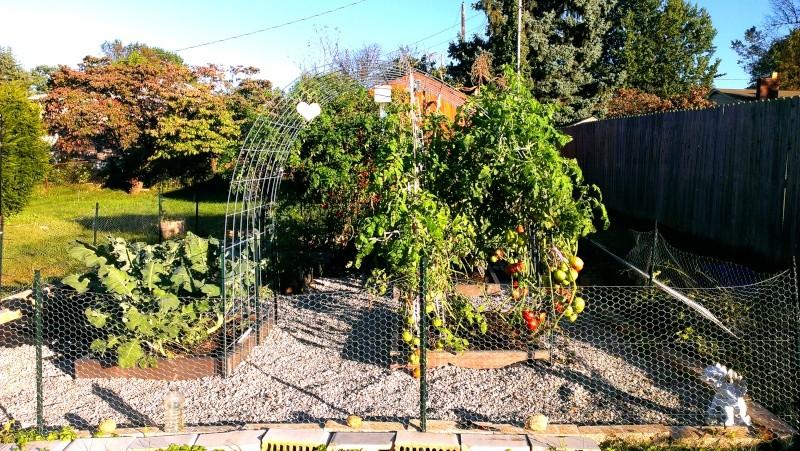 Brandywine Tomatoes, 159 on Vines Today! 20131020