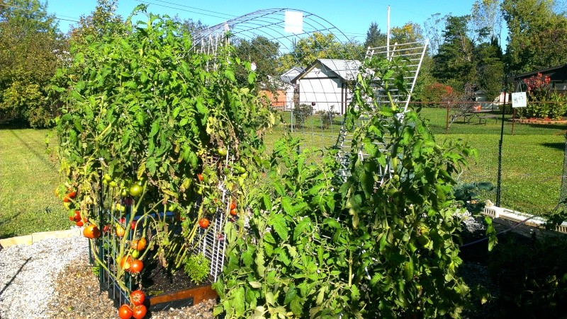 Brandywine Tomatoes, 159 on Vines Today! 20131022
