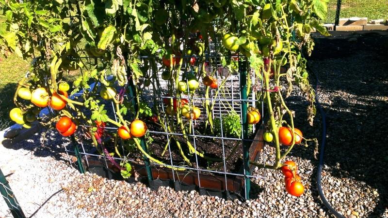 Brandywine Tomatoes, 159 on Vines Today! 20131023