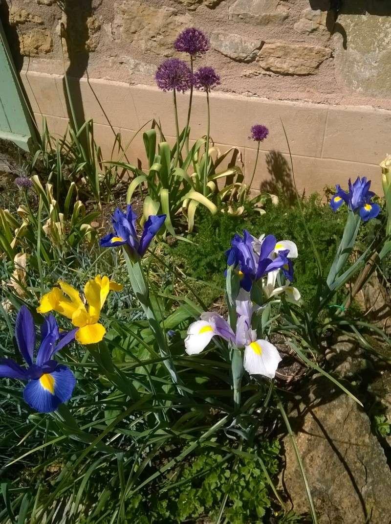 Iris : floraison 2014 - Page 4 05010