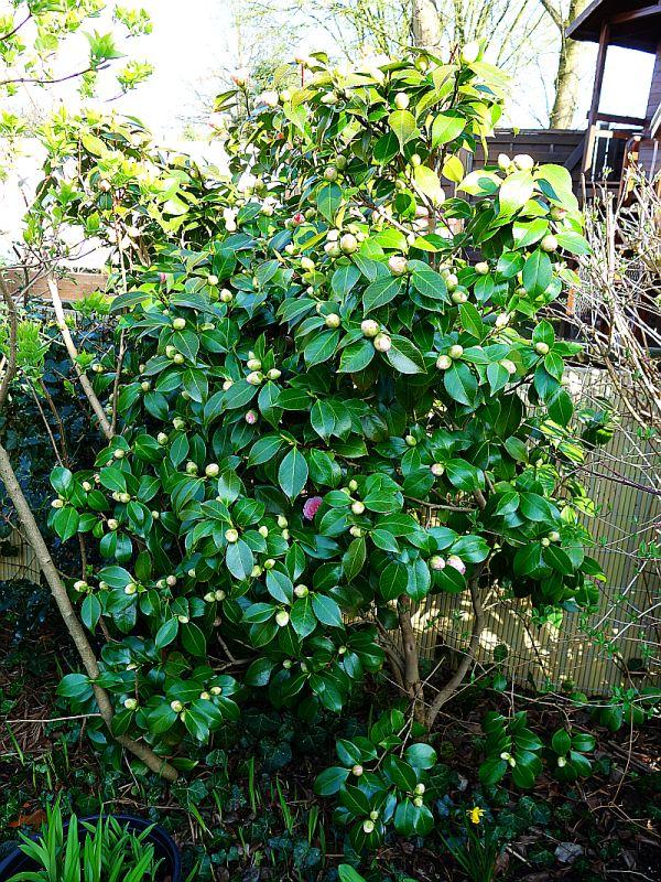 Camellia - Kamelien - Seite 3 Dsc05513