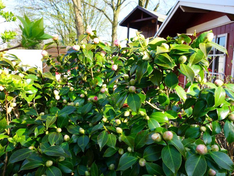 Camellia - Kamelien - Seite 3 Dsc05514