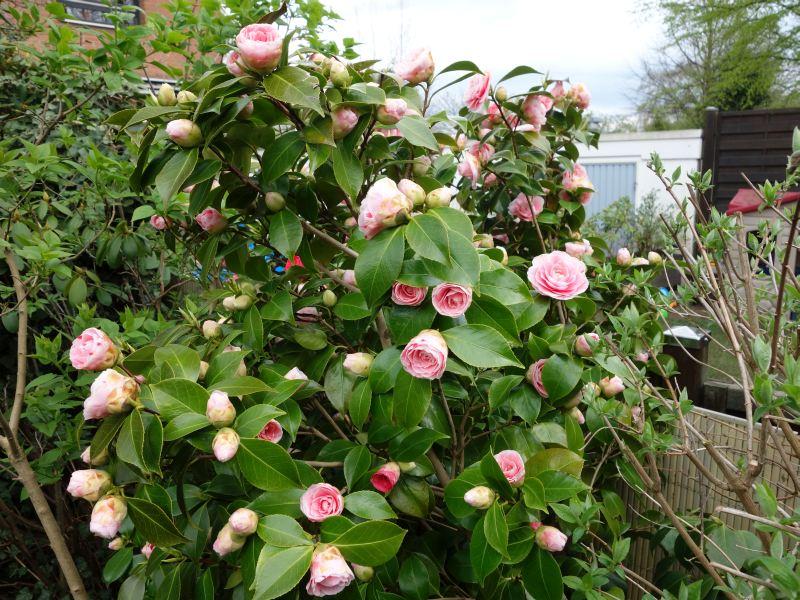 Camellia - Kamelien - Seite 3 Dsc05537
