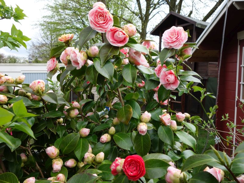 Camellia - Kamelien - Seite 3 Dsc05538