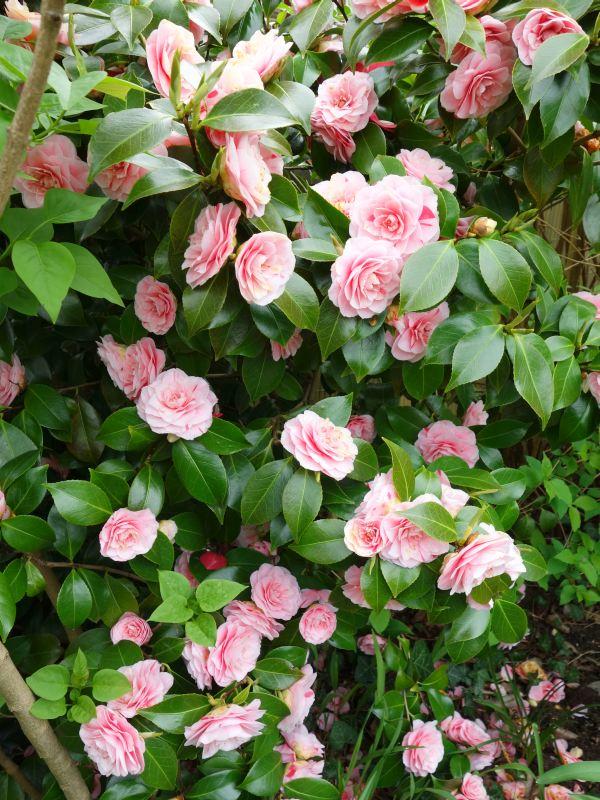 Camellia - Kamelien - Seite 4 Dsc05612