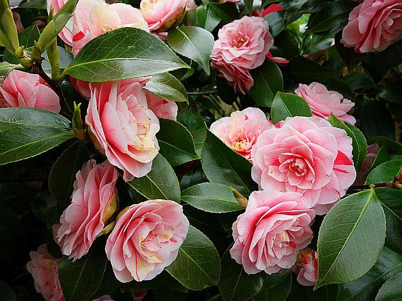 Camellia - Kamelien - Seite 4 Dsc05613