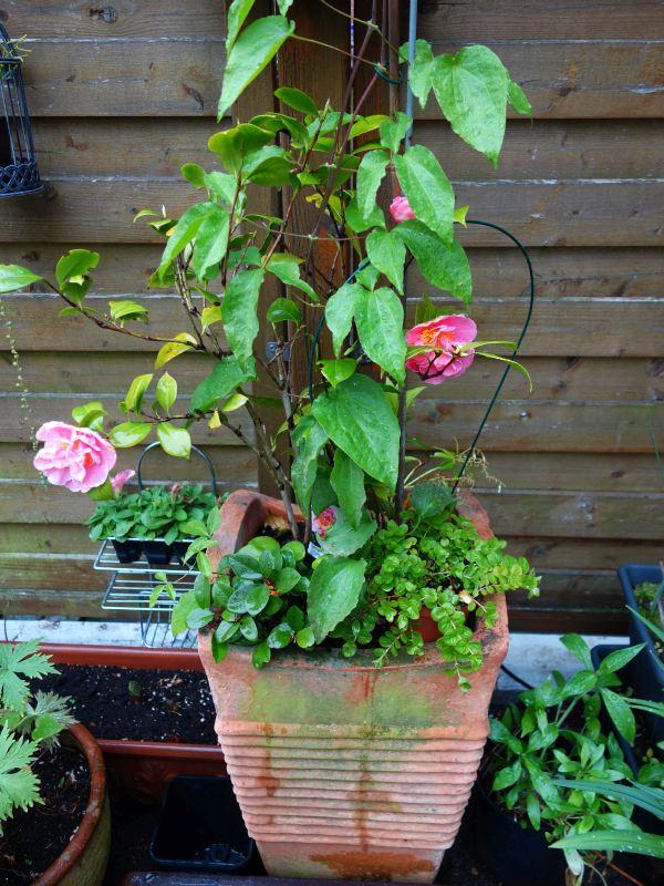 Camellia - Kamelien - Seite 4 Dsc05724