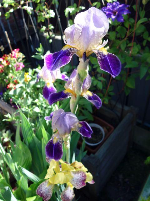 Schwertliliengewächse: Iris, Tigrida, Ixia, Sparaxis, Crocus, Freesia, Montbretie u.v.m. - Seite 16 Dsc05820