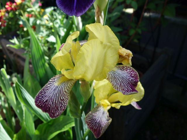 Schwertliliengewächse: Iris, Tigrida, Ixia, Sparaxis, Crocus, Freesia, Montbretie u.v.m. - Seite 16 Dsc05821