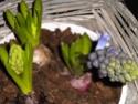 euréka,mes jacinthes fleurissent Dscn1910