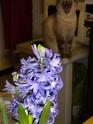 euréka,mes jacinthes fleurissent Dscn1912