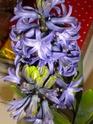 euréka,mes jacinthes fleurissent Dscn1913