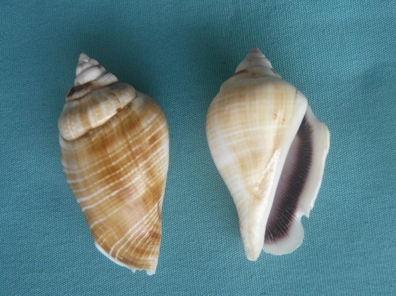 Gibberulus gibberulus gibberulus - (Linnaeus, 1758)  00131