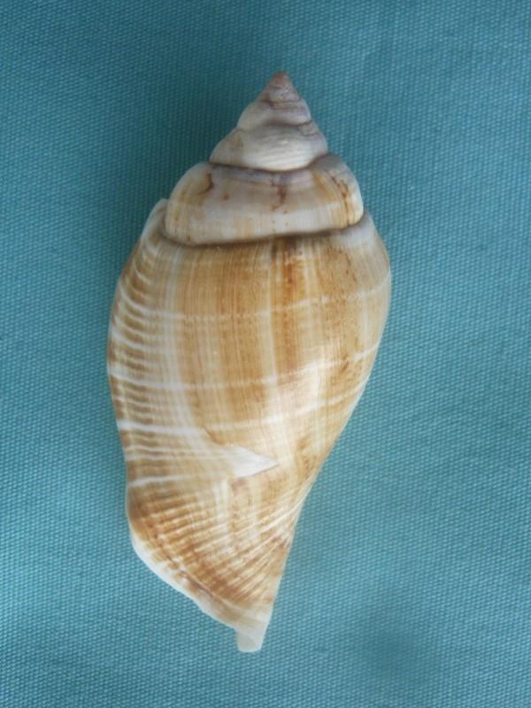 Gibberulus gibberulus gibberulus - (Linnaeus, 1758)  00228