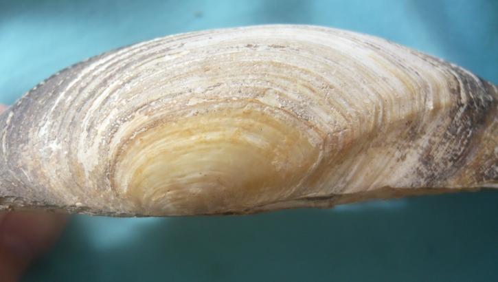 Anodonta cygnea - (Linnaeus, 1758) voir Anodonta anatina - (Linnaeus, 1758)  00319