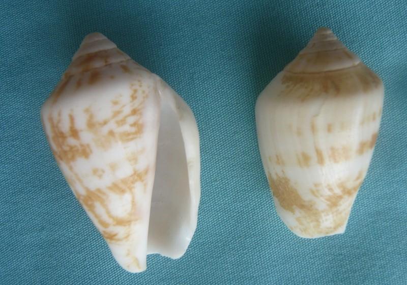 Conomurex decorus persicus Swainson 1821 00325