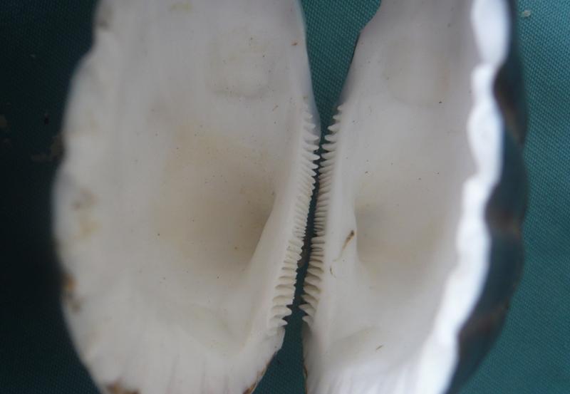 Senilia senilis - (Linnaeus, 1758)  00336