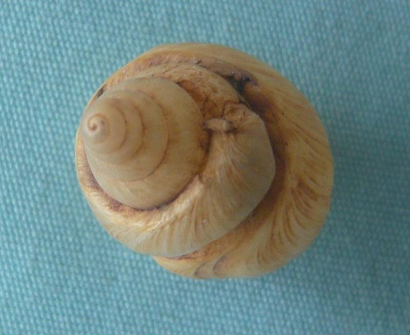 Limicolaria felina Shuttleworth, 1852 00510