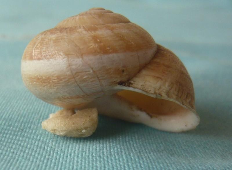 Eobania vermiculata (Muller 1774) du Maroc 00516
