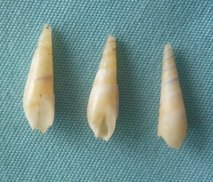 Impages aciculina (Lamarck, 1822) 00520