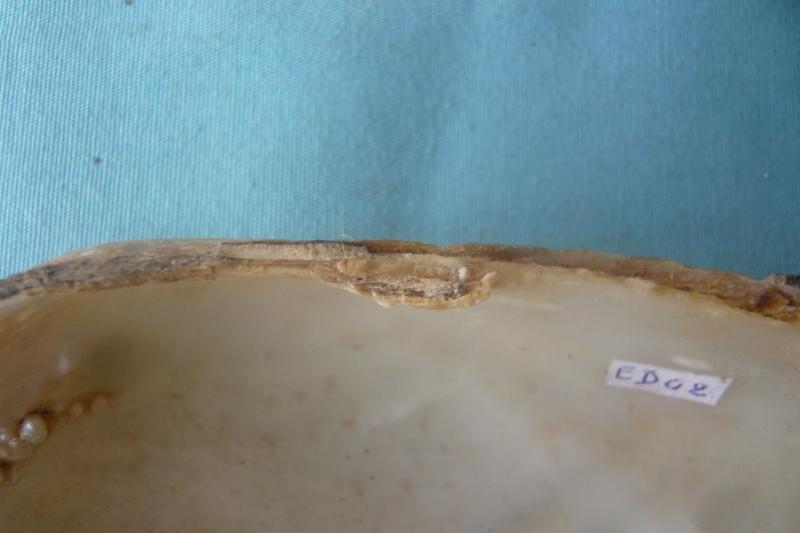 Anodonta cygnea - (Linnaeus, 1758) voir Anodonta anatina - (Linnaeus, 1758)  00814