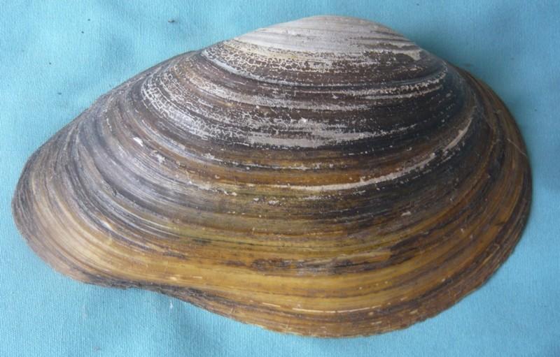 Anodonta cygnea - (Linnaeus, 1758) voir Anodonta anatina - (Linnaeus, 1758)  00913