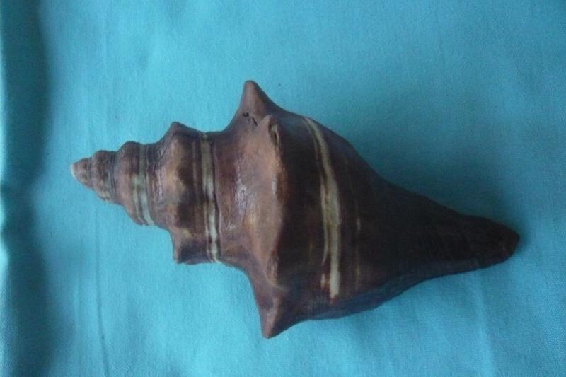 Pugilina morio - (Linnaeus, 1758) 01417