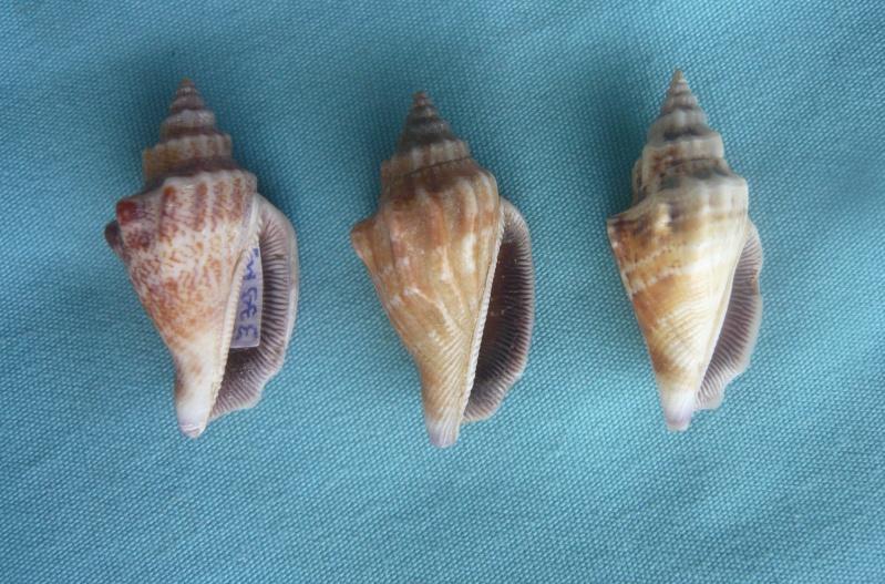 Canarium olydium - (Duclos, 1844)  01418