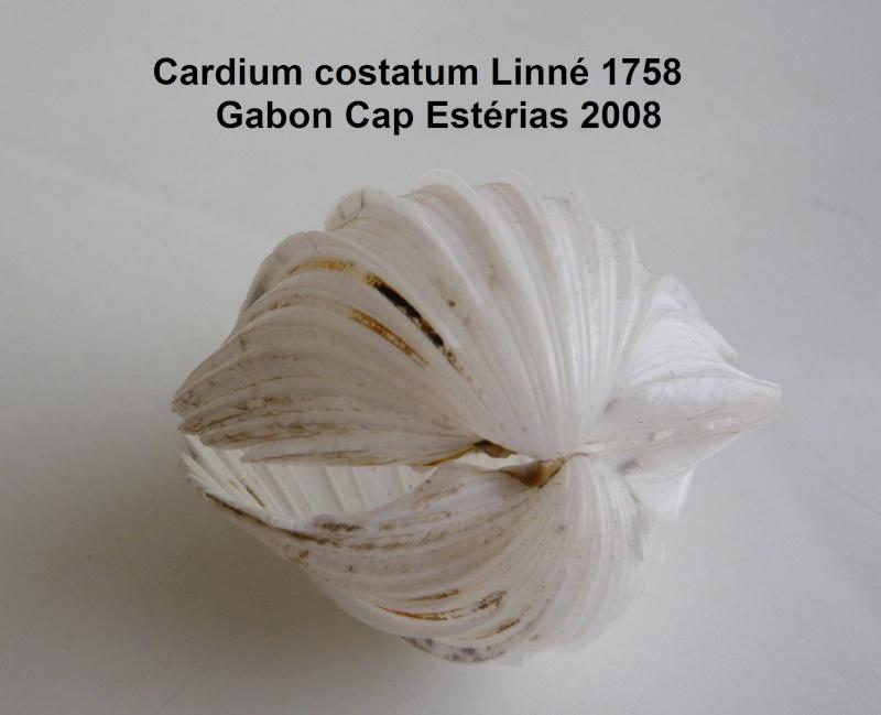 Cardium costatum - Linnaeus, 1758  Cardiu11
